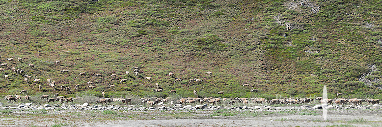 A herd of caribou heads up the bank from a gravel bar in the Hulahula River Canyon on a summer day in Alaska's Arctic National Wildlife Refuge. STITCHED PANORAMA 2 OF 3