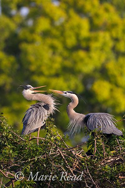 Great Blue Herons (Ardea herodias) pair interacting aggressively at nest site, Venice, Florida, USA