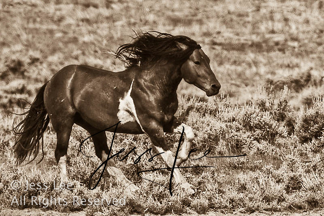 Running mustang,fighting MustangsMcCullough Peaks Mustangs Wild Horse Photography by western photographer Jess Lee. Pictures of mustangs in the West. Fine art images,Prints,photos Wild horse photo,wildhorses in the american west,