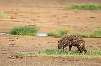 Spotted Hyena, Crocuta crocuta, in Lake Nakuru National Park, Kenya
