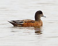 Adult female American widgeon