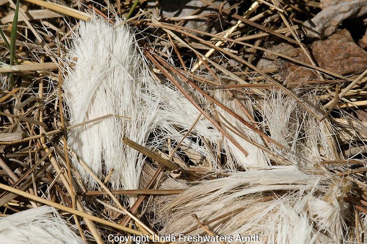 White-tailed deer hair