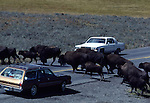 bison hear crossing road in Hayden Valley