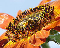 Bee Gathering Pollen from Giant Sunflower
