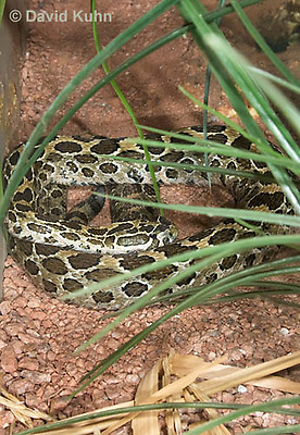 0512-1101  Mexican Lancehead Rattlesnake, Crotalus polystictus  © David Kuhn/Dwight Kuhn Photography