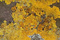 Gewöhnliche Gelbflechte, Gelbe Wandflechte, Goldgelbe Wandflechte, Gelbe Wandschüsselflechte, Flechte auf einer alten Steinmauer, Xanthoria parietina, Parmelia parietina, common orange lichen, yellow scale, maritime sunburst lichen, shore lichen, golden shield lichen