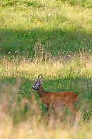 Rehbock - Roe Deer