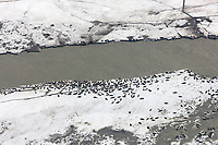 Harbor seals hauled out on the shores of the sandy shoals of the Copper River Delta. The seals use this area for pupping grounds, southcentral, Alaska