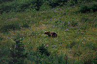 "A brown bear on a hillside causes a ""bear jam"" in Glacier National Park as tourists stop their vehicles to watch with fascination.  Rangers often come onto the scene moving people along because as the bears become more accustomed to humans, they loose their fear.  Bear attacks are not out of the ordinary in this park. The bears come down low onto the hillsides to eat huckleberries in the late summer.   This park is one of the last bastions of grizzly bear country.  Moose, elk, mountain goats, bighorn sheep--at least 57 species of mammals and 210 species of birds also make the region their home.   Thousands of waterfalls tumble from glacial snow masses into lakes and streams, surrounded by fog-covered primitive forests.   Mount Cleveland, Glacier's highest peak, measures 10,448 feet.  Waterton-Glacier International Peace Park is the official name because the area covers Canada, spilling over into Montana."