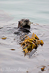 Sea Otter (Enhydra lutris), wrapped in kelp to stabilize itself while resting, Moss Landing, Monterey, California, USA
