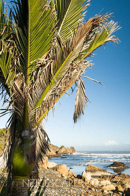 Nikau Palm trees along coastline in Punakaiki, Paparoa National Park, West Coast, Buller Region, New Zealand