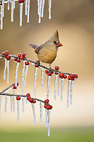 northern cardinal, Cardinalis cardinalis, adult female perched on icy branch of Possum Haw Holly with berries, Ilex decidua, Hill Country, Texas, USA, North America