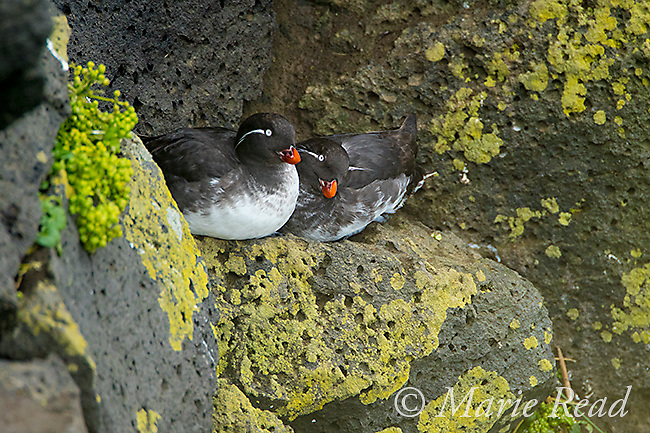 Parakeet Auklets (Aethia psittacula) pair perched together on rock on cliff face, St. Paul Island, Pribilofs, Alaska, USA