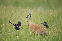 Red-winged Blackbird (Agelaius phoeniceus) attacking a Sandhill Crane (Grus canadensis) in a flooded pasture. Cranes will predate the nests of blackbirds. Sublette County, Wyoming. May.