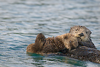 Sea Otter (Enhydra lutris) mother with pup.