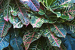 Close up of Codiaeum Croton, green and red leaves
