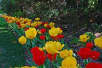 Tulips at Smith Garden