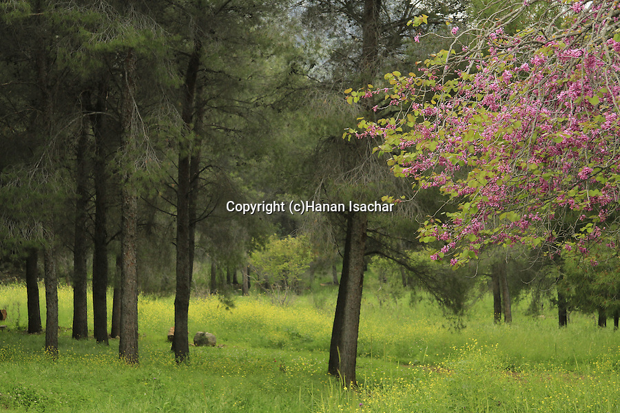 Israel, Upper Galilee, Judas tree in Naftali Mountains forest