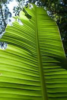Banana leaf near a waterfall in Monte Blanco, Veracruz. April 4, 2008