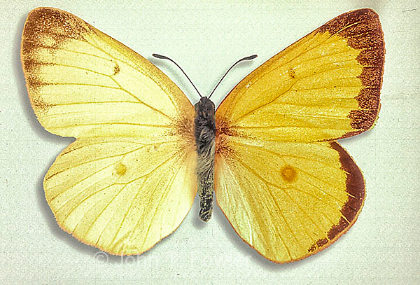 Pink=edged Sulphur Butterfly, Colias interior, Gynandromorph