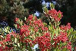 toyon berries, Newark
