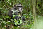 Africa, Uganda, Kibale National Park, Ngogo Chimpanzee Community. Wild Chimpanzee, Jackson