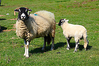 Moors sheep and lamb in North Yorks Moors National Park, Farndale, England. Yorkshire stock photos