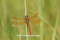 06612-00114 Golden-winged Skimmer dragonfly (Libellula auripennis) male perched near wetland, Marion Co., IL