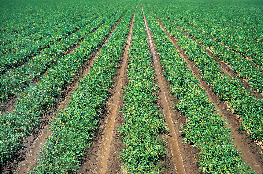 rows of tomato plants California