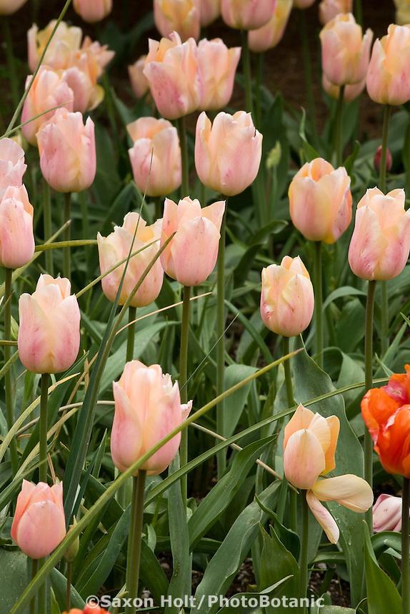 Pink flower tulip (tulipa) bulb 'Apricot Beauty' in garden