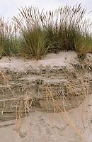 Gewöhnlicher Strand-Hafer, Strandhafer, Helm, auf Weißdüne der Meeresküste, ausgedehntes Wurzelgeflecht an Abbruchkante sichtbar, Ammophila arenaria, Beach Grass, Marram Grass