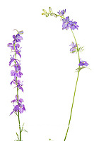 30099-00607 Tall Blue Larkspur (Delphinium exaltatum) (high key white background) Marion Co. IL