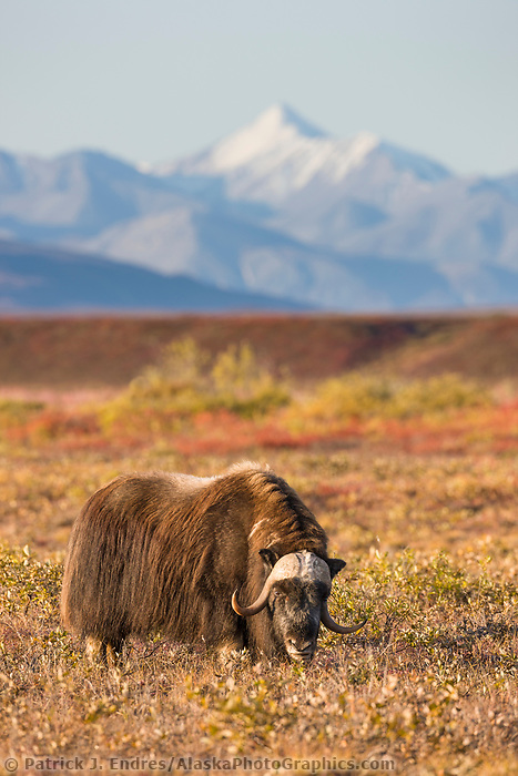 Muskox on the autumn tundra, Brooks Range mountains, arctic, Alaska.