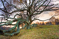FLOYD, VA, A gnarled tree rests on a hillside near the Blue Ridge Parkway in Floyd, Virginia.  The parkway draws many visitors past the small community during the summer months filling the country store to overflowing on Friday nights.