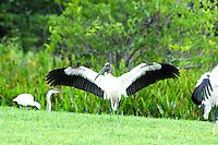 Large  Wood Stork photographed at Wakodahatchee Preserve, Delray Beach, Florida.