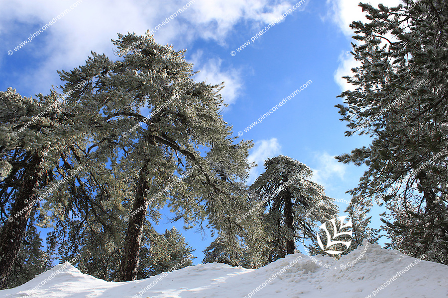 Snow-laden trees looking up at clear blue sky at Troodos,Cyprus.