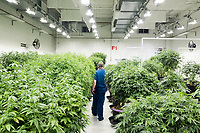 "A worker walks among plants in the ""mother"" room at the production and packaging facility for Garden Remedies, a medical cannabis producer, in Fitchburg, Massachusetts, USA, on Fri., Feb. 22, 2019. ""Mother"" plants are the plants from which cuttings are taken to create clone plants of various strains produced at the facility."