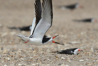 Black Skimmer (Rynchops niger), adult in flight calling, Port Isabel, Laguna Madre, South Padre Island, Texas, USA