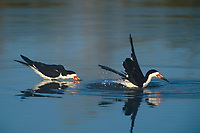 578613014 wild black skimmers rynchops niger bathe and feed in a small pond at the salton sea national wildlife refuge in california