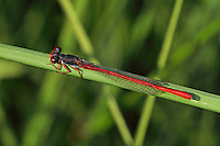 Späte Adonislibelle, Männchen, Scharlachlibelle, Zarte Rubinjungfer, Ceriagrion tenellum, small red damselfly, male, le Cériagrion délicat ou l'Agrion délicat
