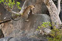 African Leopard, Panthera pardus, climbs a rock outcrop in Serengeti National Park, Tanzania