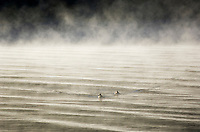 two ducks swimming in morning mist of lake