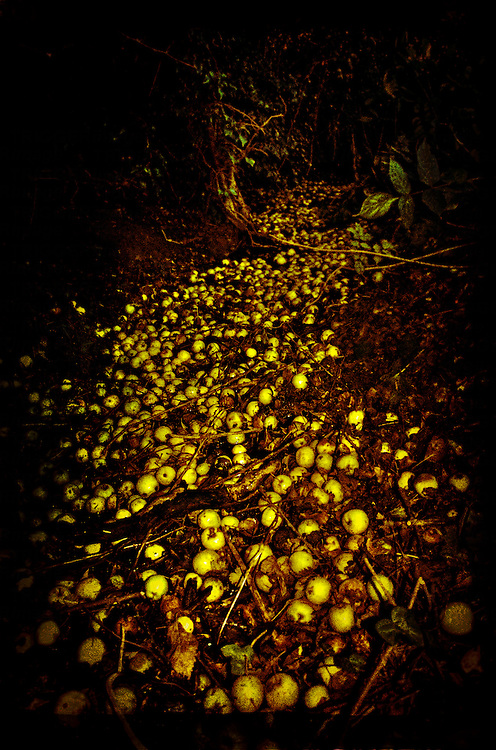 A stream of fallen apples in a ditch at Eye, Suffolk, England