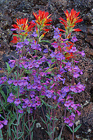 Applegate's paintbrush and lowly penstemon<br />