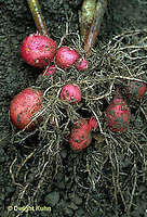 HS05-028a  Potato - red potatoes growing underground