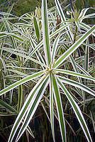 Carex phyllocephala Sparkler, Palm Sedge