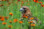 Red Tailed Hawk, Buteo jamaicensis, in flower meadow, Minnesota, USA controlled situation.USA....