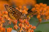 on butterflyweed; Asclepias tuberosa; PA, Philadelphia, Schuylkill Center