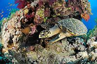 hawksbill sea turtle, Eretmochelys imbricata, Hamata coast, Egypt, Red Sea, Indian Ocean