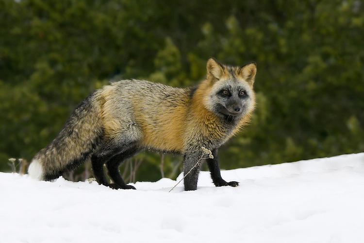 Cross Fox (Vuples vulpes) standing on the top of a snowy hill in front of some trees near Kalispell, Montana, USA - Captive Animal